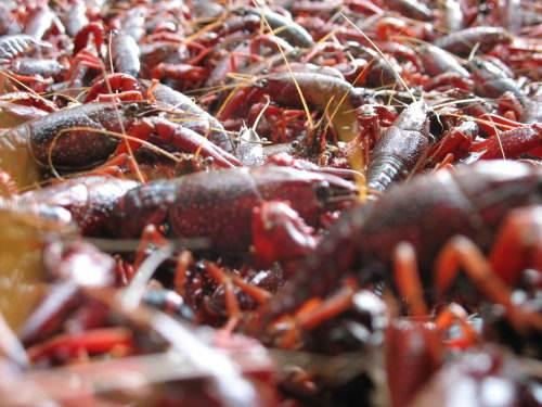 农丰十号龙虾养殖是真是假 赢得众多消费者的认可